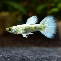 열대어)플래티넘 저먼 턱시도 구피 1쌍-관상용 애완물고기