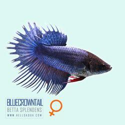 열대어)랜덤 크라운베타 블르색 암컷-혼자사는 독립사육