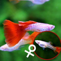 열대어)레드테일 코브라 구피 암컷 2마리-애완물고기