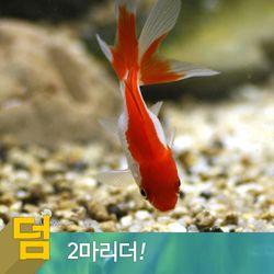 열대어)금붕어(소) 12마리 2마리서비스-애완물고기