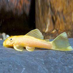 열대어)L-144 안시 숏핀 2마리-청소물고기