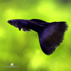열대어)풀 블랙 구피 1쌍-애완물고기