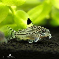 열대어)코리 쥴리 2마리-청소물고기