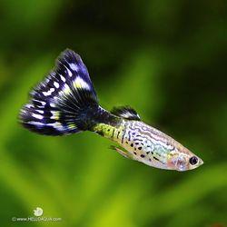 열대어)플라워 블루 구피 2쌍-애완물고기