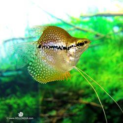 열대어)풍선 펄구라미 1마리-애완물고기