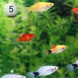 열대어)모듬 플래티 5마리-애완물고기