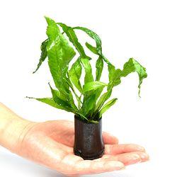 수초)대숯포트 미크로소리움-어항 수질정화 수중식물