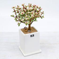 은행목 컬러아악무 다육식물 사각화분SET