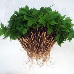 충주 삼주팜 바나듐 새싹삼 100뿌리