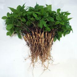 충주 삼주팜 바나듐 새싹삼 70뿌리