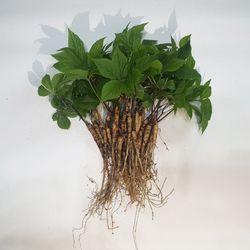 충주 삼주팜 바나듐 새싹삼 30뿌리