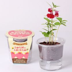 저면관수 식물키우기 - 살랑살랑 봉선화