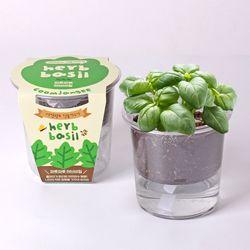 저면관수 식물키우기 - 파릇파릇 허브바질
