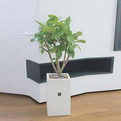 [인테리어화분공기정화식물] 라임빛의 뱅갈고무나무