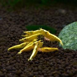 애완새우)골든백새우 2마리 밝은 노란펄 쉬림프