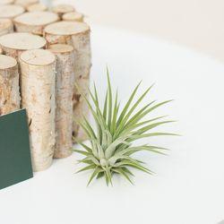 틸란드시아 이오난사 공기 정화 실내 인테리어 식물