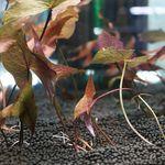 님파루브라 1촉 (34잎)