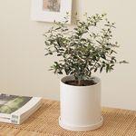[PLANT] 선물하기좋은 올리브나무 모던식물화분