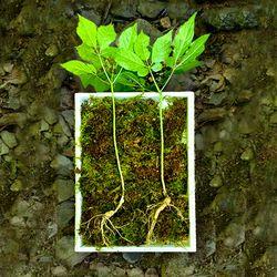 들산초 맥반석지대 7년근 이상 산양산삼 2뿌리 20g