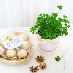 네잎클로버 화분 키우기 러블리 티아 페레로 로쉐 세트