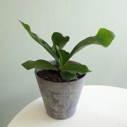 [공기정화식물] 박쥐란 팟