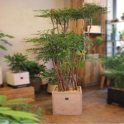 [개업선물집들이축하선물거실화분]남천나무