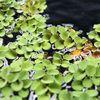 부상수초 살바니아 쿠쿠라타(1015잎)