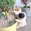 강아지 화분 피규어 미니어처 미니가든 테라리움 재료