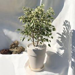 공기정화 인테리어식물 컬러 벤자민 나폴리 원형 화이트토분