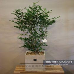 [대형꽃화분향기나는꽃나무]오렌지쟈스민