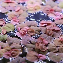 플루이탄스 3촉 (부상수초 수생식물)